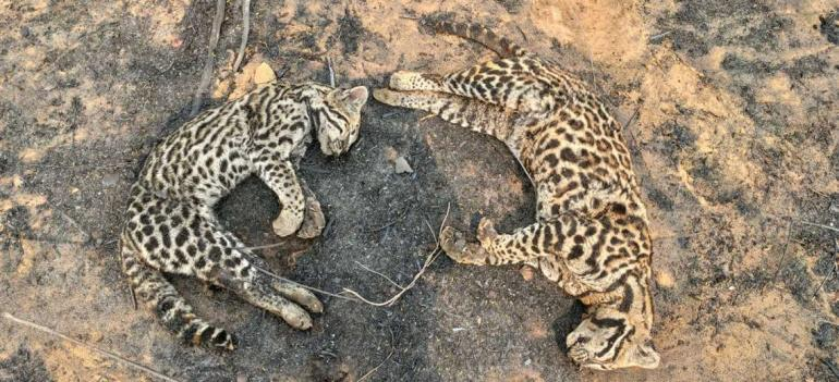Fires in protected areas in Santa Cruz kill two ocelots and other animals